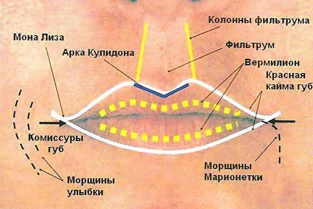 Губы рта представляют